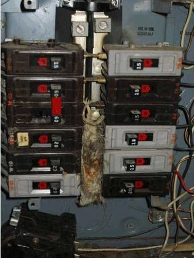 Rat fried in the electrical box